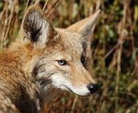 100302-coyote
