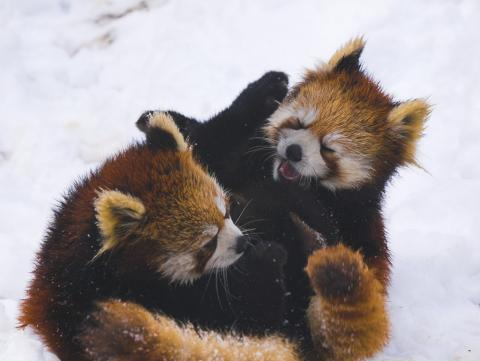 Rare red pandas, wrestling in the snow. Image via Wiki Commons http://bit.ly/xcp