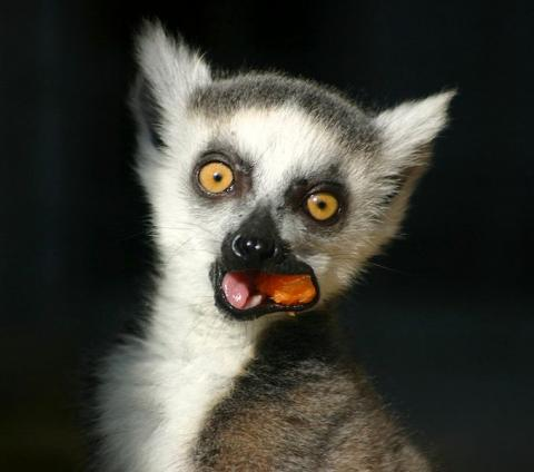 Total Lemur Awesomeness