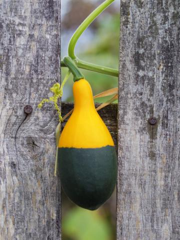 A squash caught in a fence. Image courtesy Mr. Green/shutterstock.com.