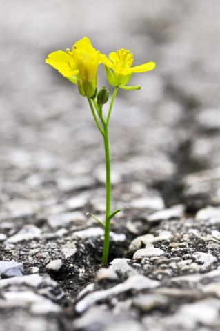 Flower growing out of crack in asphalt, Elena Elisseeva / Shutterstock.com