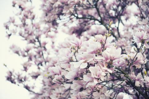 Blooming magnolia tree, Gyuszko-Photo / Shutterstock.com