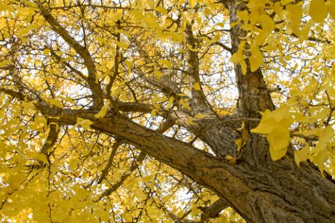 Ginkgo tree leaves, Tito Wong / Shutterstock.com