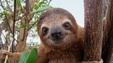 Baby sloth, Vilainecrevette / Shutterstock.com