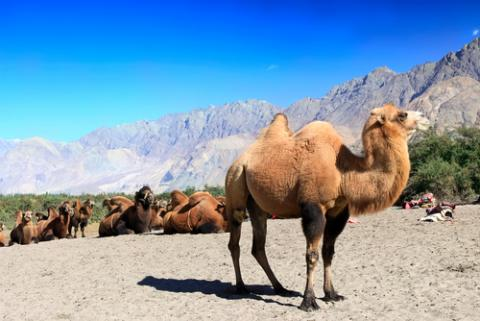 (Camel photo by Tatiana Belova /Shutterstock.com)