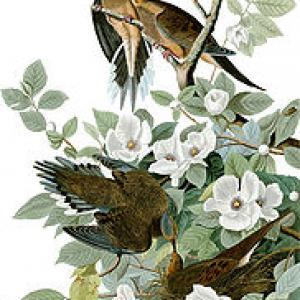 Zenaida Macroura (Mourning Dove) painting by John J. Audubon. Public domain imag