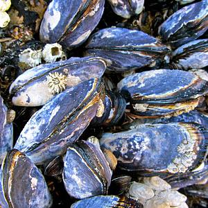 Mussels. Photo by Sarah Vanderveen.