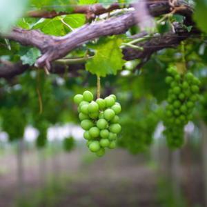Is our planet like the vineyard of Jesus' parable? Image courtesy huyangshu/shut