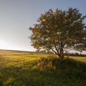 Tree in a field, verevkin / Shutterstock.com