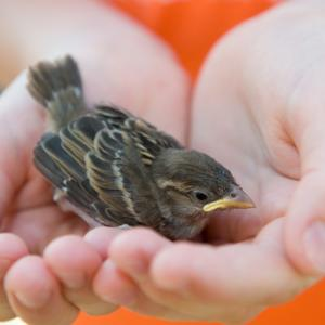 Sparrow in a child's hands. Photo courtesy Firma V/shutterstock.com