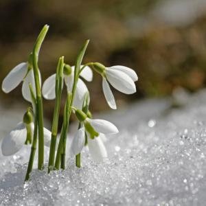 Snowdrops peek through the snow. Image courtesy ArtOfLightPro/shutterstock.com
