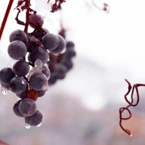 Grapes frozen on the vine, jecka / Shutterstock.com