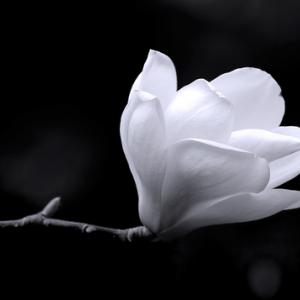 Black and white magnolia, Gregory Johnston / Shutterstock.com