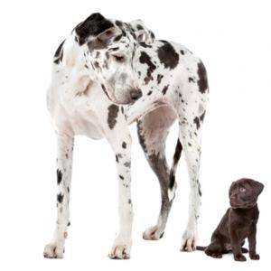 Great dane and labrador puppy, Erik Lam / Shutterstock.com