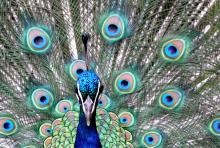 Condescending peacock. Image by E J Davies/Getty.