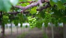 Is our planet like the vineyard of Jesus' parable? Image courtesy huyangshu/shut