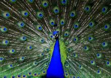 Close up of peacock, CoolR / Shutterstock.com
