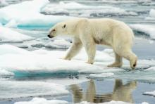 A polar bear walks along ice floes in the Arctic Ocean. Photo courtesy of Florid