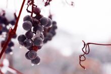 Grapes frozen on the vine, jecka / Shutterstock.com