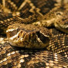 Rattlesnake. Image via http://bit.ly/KMHG5x.