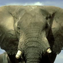 African bull elephant in Kenya. Image via Getty Images.