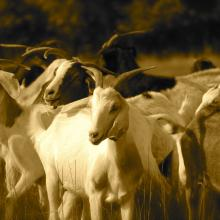 Kiko goats in Yazoo City, Miss. Photo by Cathleen Falsani.