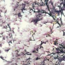 Blooming magnolia tree, Gyuszko-Photo / Shutterstock.com