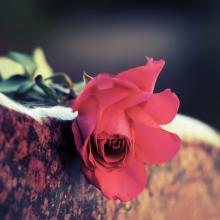 A rose on a stone. Image courtesy wrangler/shutterstock.com