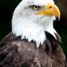 Bald eagle via shutterstock.com