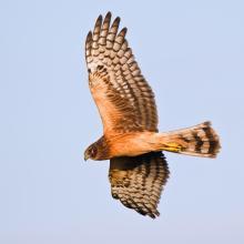 Northern Harrier, Peter Schwarz / Shutterstock.com