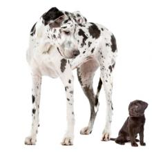 Great dane and labrador puppy, Erik Lam / Shutterstock.com