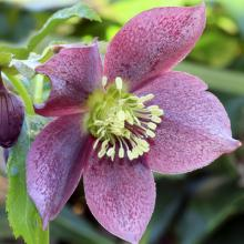 (Lenten Rose photo by Lynn Whitt/Shutterstock.)