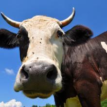Cow image by smereka /Shutterstock.com
